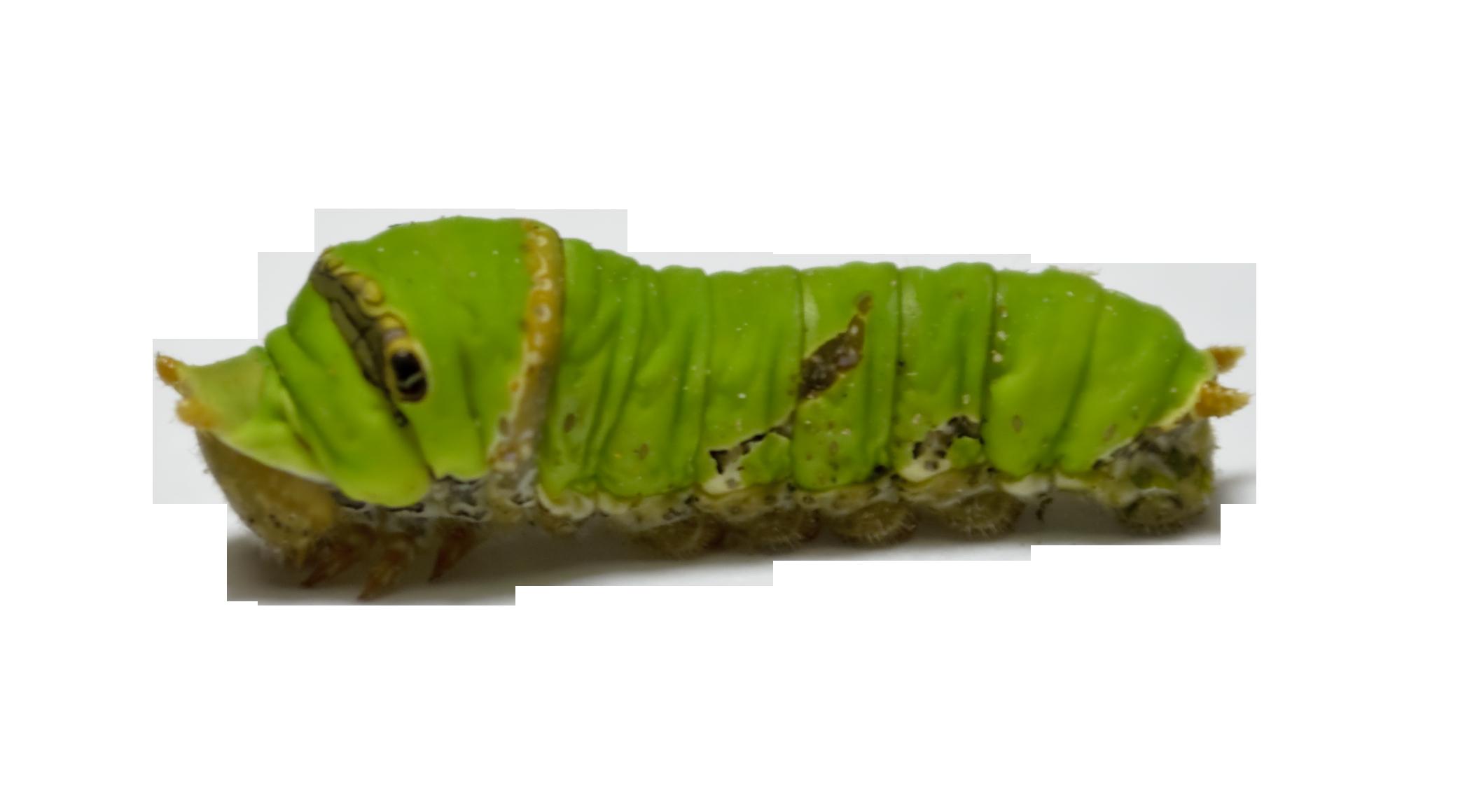 Caterpillar PNG - 1787