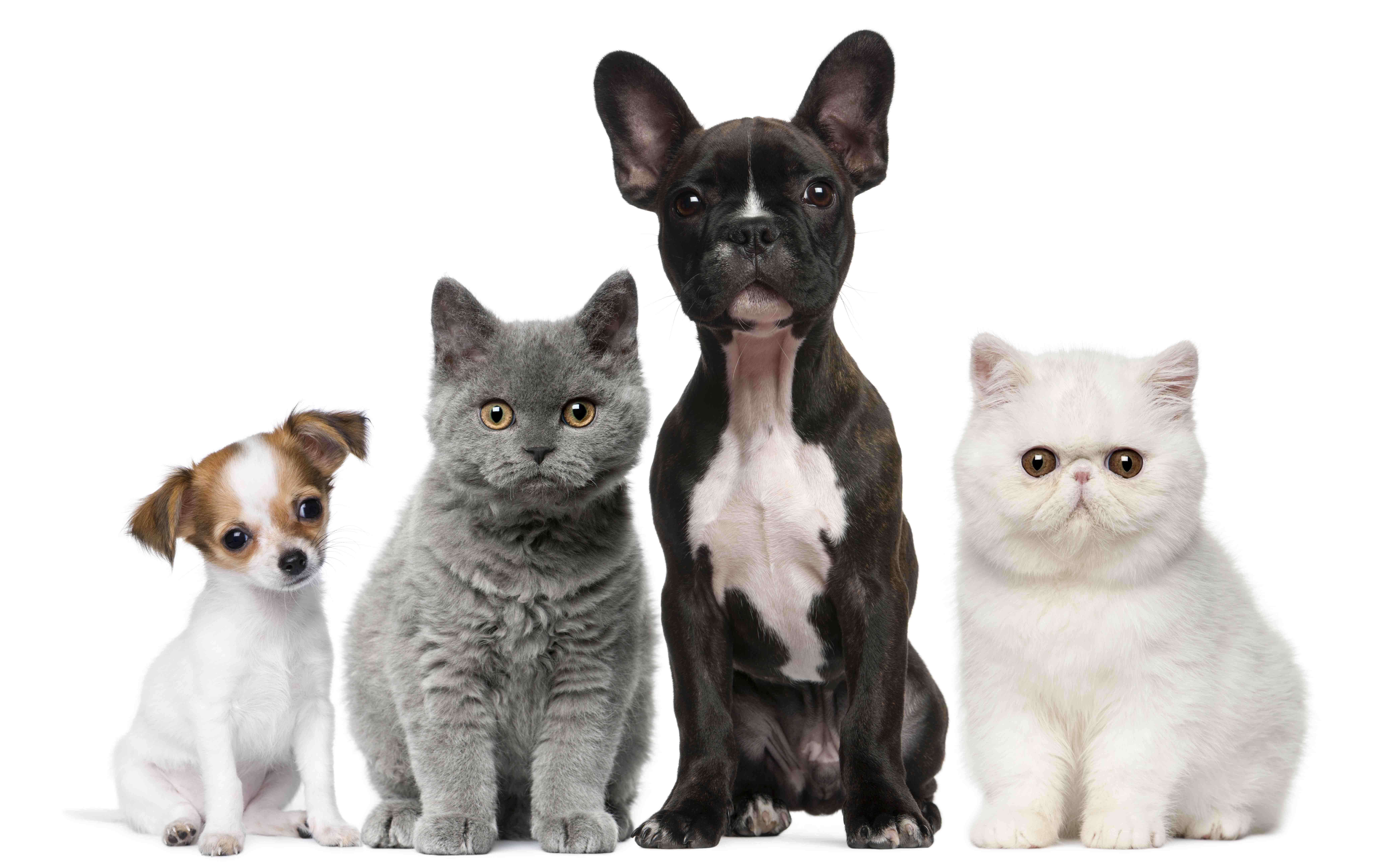 shutterstock_73795300 r - Cats And Dogs PNG HD