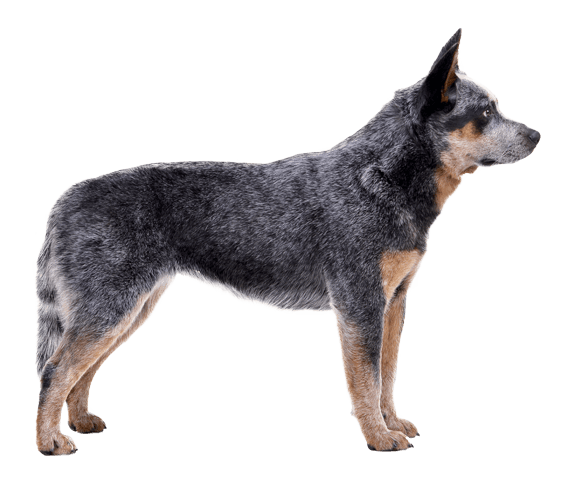 Appearance of Australian Cattle - Cattle Dog PNG