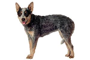 Australian Cattle Dog - Cattle Dog PNG