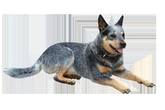 australian cattle dog Pet Insurance Alternative - Cattle Dog PNG
