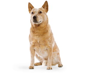breed_picture - Cattle Dog PNG