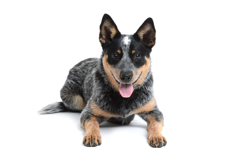 Photo - 1 Photo - 1 PlusPng.com  - Cattle Dog PNG