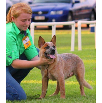 Tagetarl Kennels - Australian Cattle Dog u0026 Stumpy Tail Cattle Dog Breeder -  Darwin, NT - Cattle Dog PNG