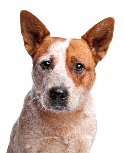 Videos. noahs dogs sidebar - Cattle Dog PNG
