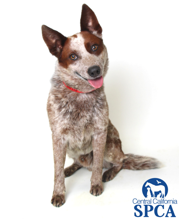 Wade is a 5 year old, male, red and brown spotted, Australian Cattle Dog  blend - Cattle Dog PNG