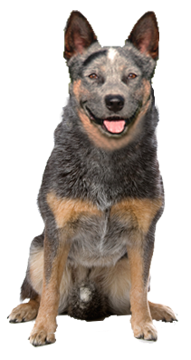 Why choose an Australian Cattle Dog to be the star of your ecard? - Cattle Dog PNG