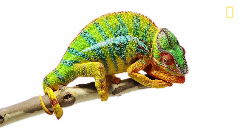 Canvas Chameleons - National Geographic - Bolt.png PlusPng.com  - Chameleon PNG