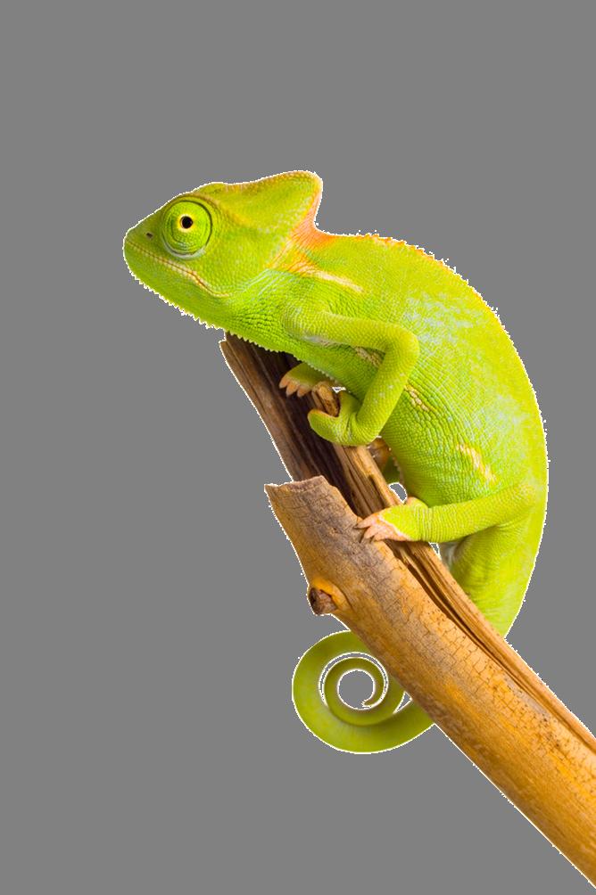 Chameleon PNG Image - Chameleon PNG