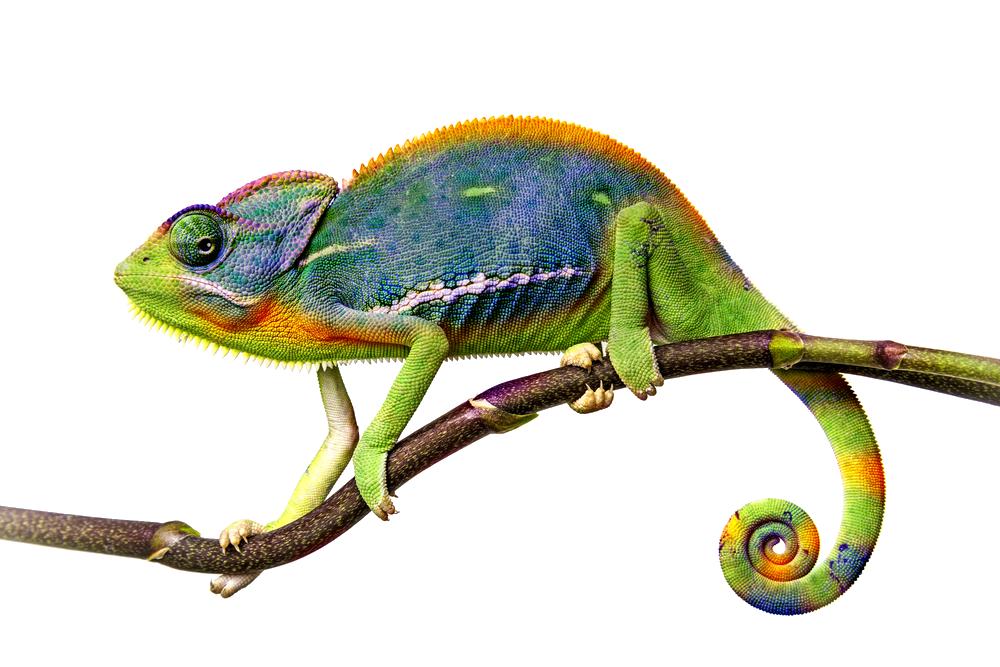 Chameleon PNG HD