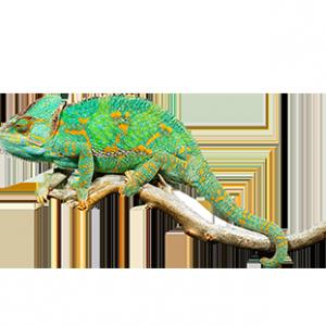 Information - Chameleon PNG