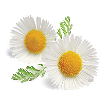 Chamomile HD PNG-PlusPNG.com-