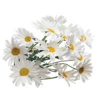Camomile Png Image PNG Image - Chamomile HD PNG