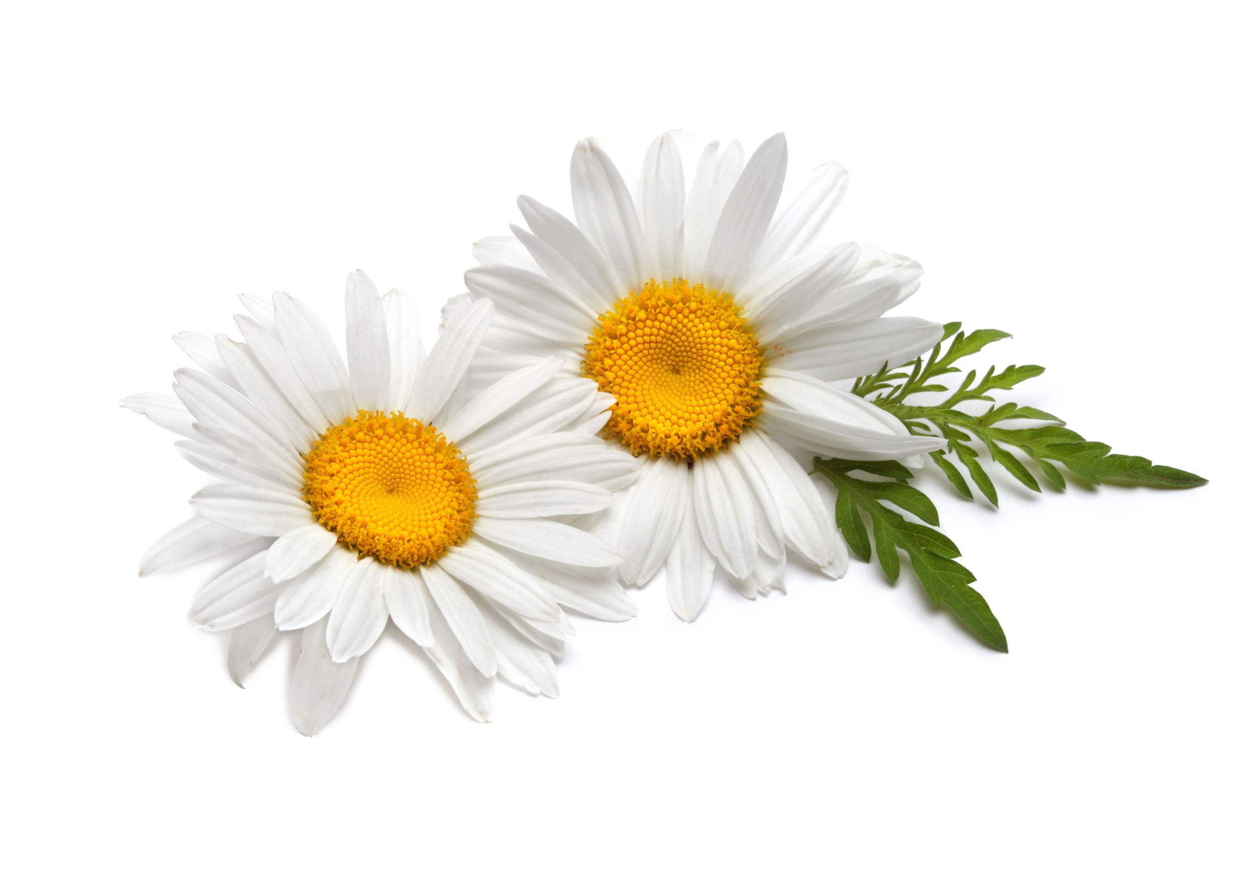Camomile PNG Photos