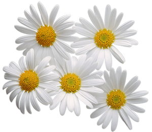 pin Camomile clipart png form