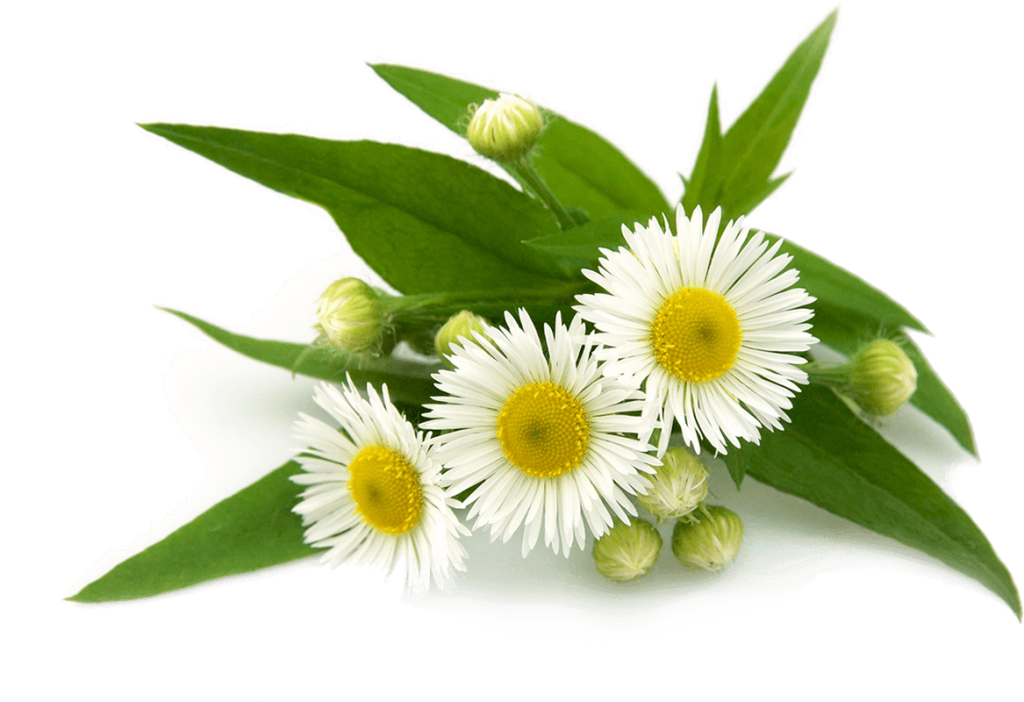 Top 18 Free Camomile Flower PNG Transparent Images - Chamomile HD PNG