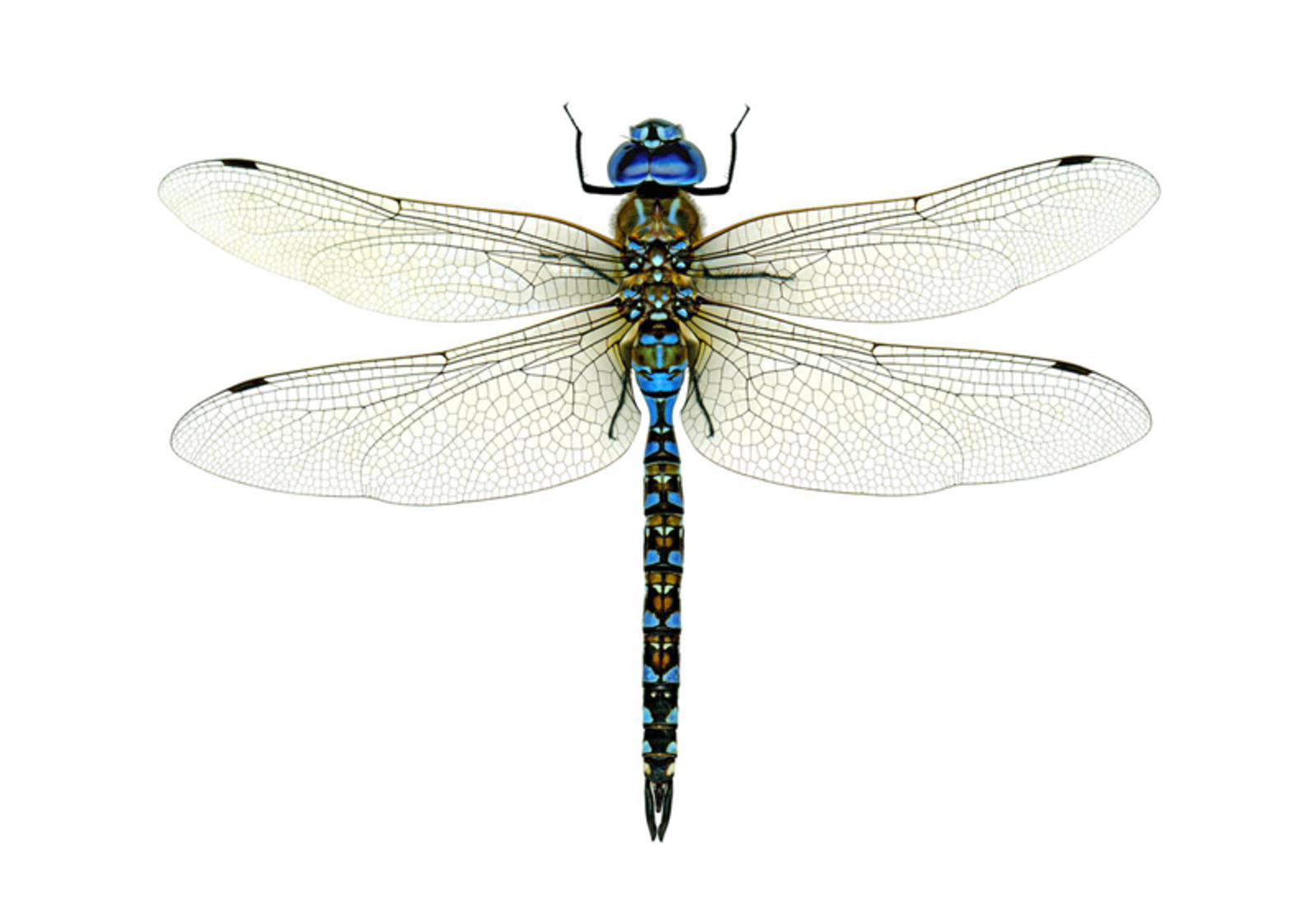Chasing Dragonflies and Damselflies | Audubon - Dragonfly PNG