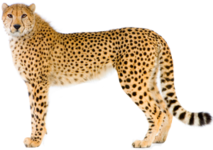 Cheetah PNG - 22537