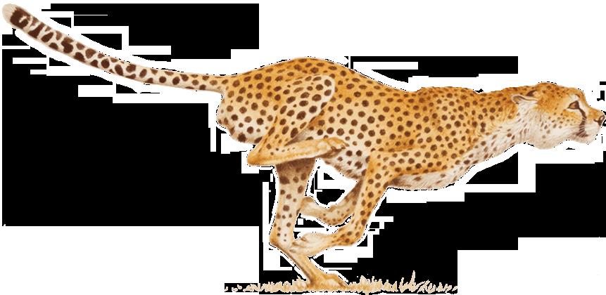 Cheetah PNG - 22535