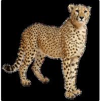 Cheetah PNG - 22539