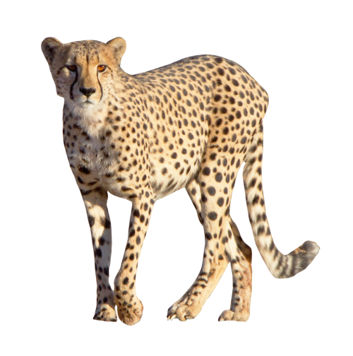 Cheetah PNG - 22545