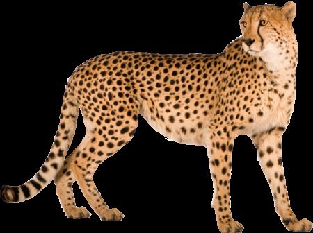 Cheetah PNG - 22543