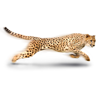 Cheetah PNG - 22546