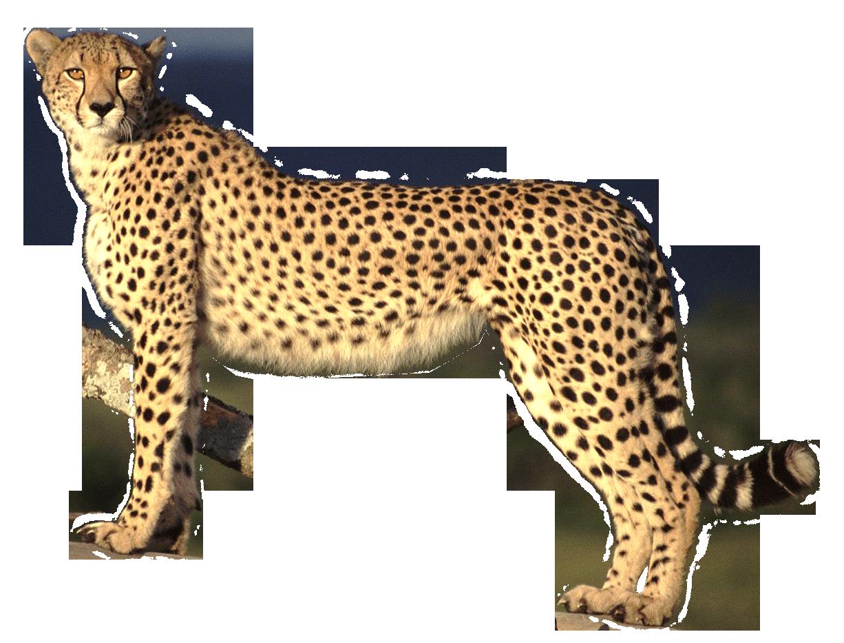 Leopard PNG - 6341