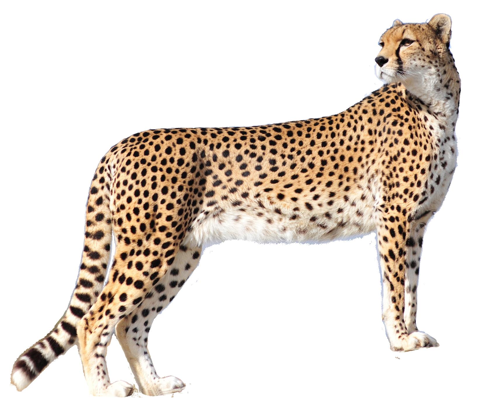 Leopard PNG - 6342