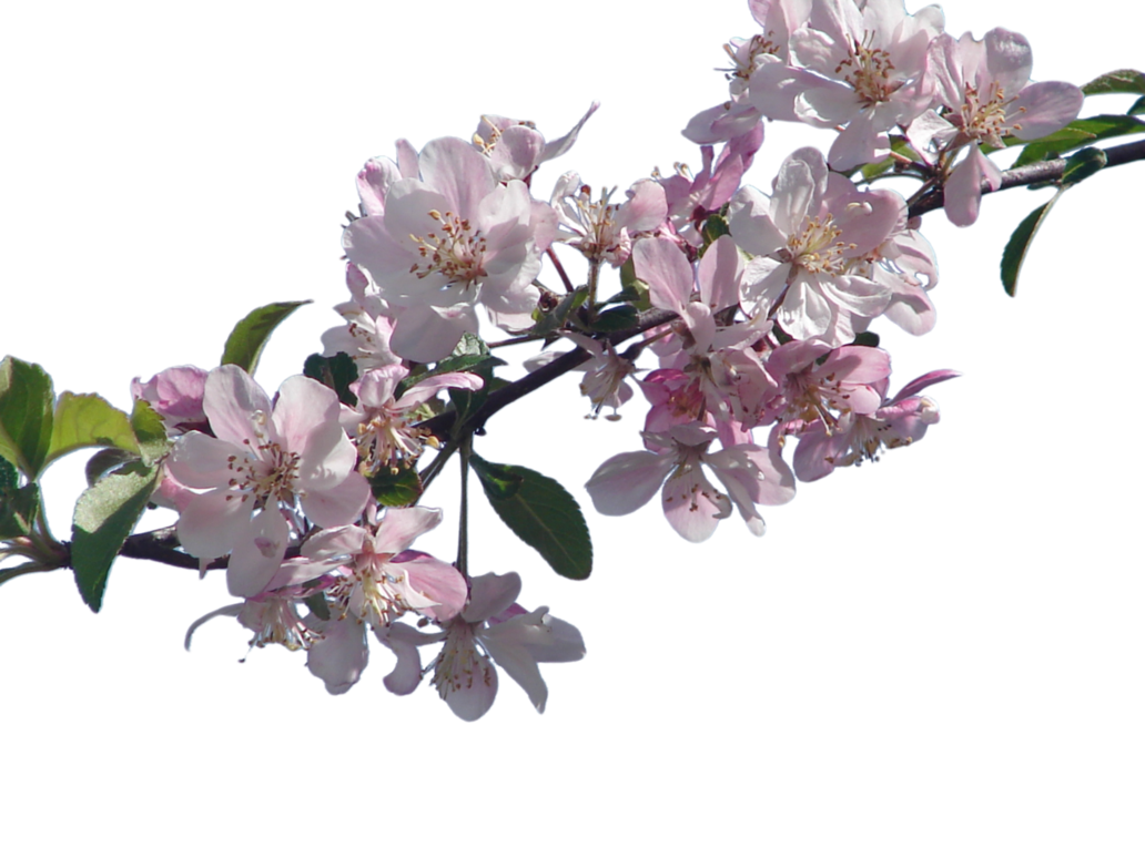 Cherry Blossom PNG File - Cherry Blossom PNG HD