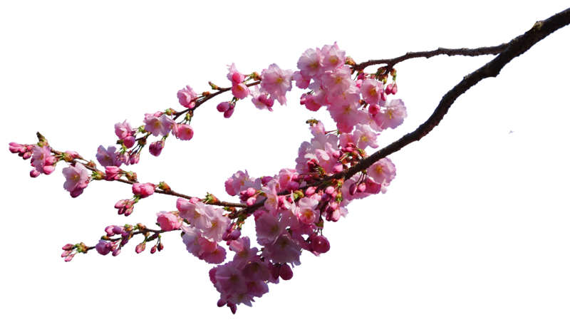 Cherry Blossom PNG Image - Cherry Blossom PNG HD