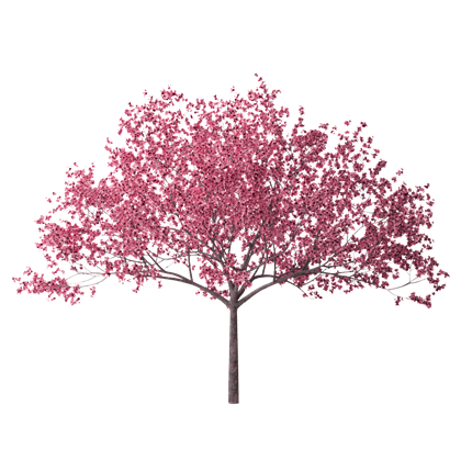 Cherry-Blossom-Tree-28-HD-Wallpaper.jpg - Cherry Blossom PNG HD