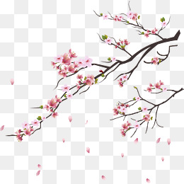 pink cherry blossoms, Branches, Flowers And Trees, Plant PNG and Vector - Cherry Blossom PNG HD
