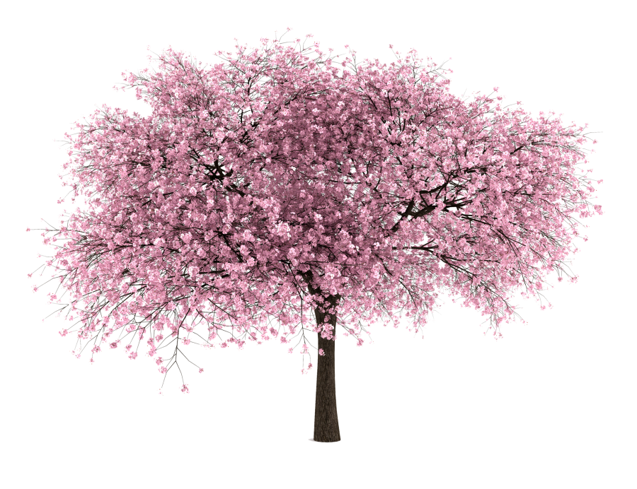 Cherry Blossom Tree PNG HD
