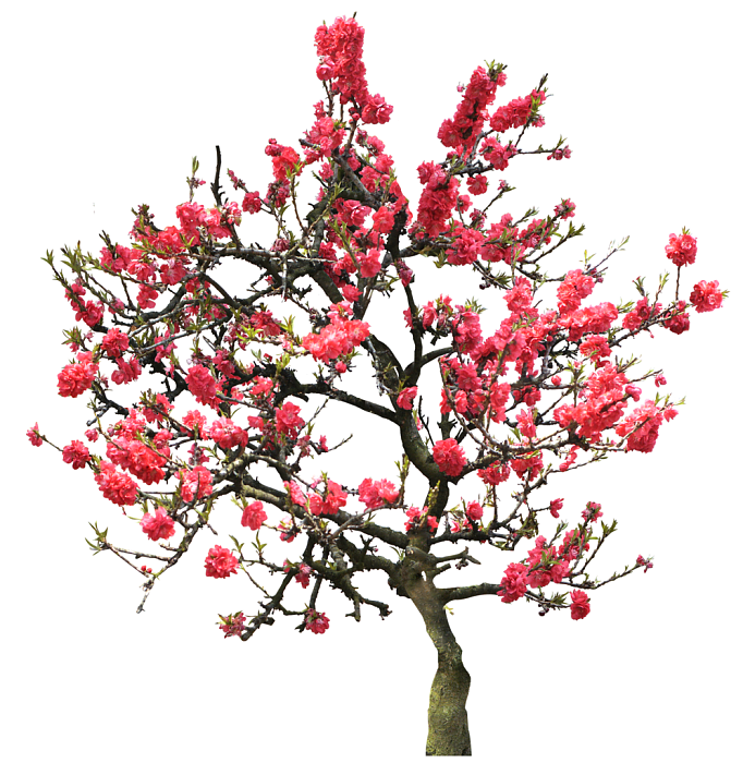 20 Tree PNG Images (Free Cutouts) for Architecture, Landscape, Interior  Renderings - Cherry Blossom Tree PNG HD