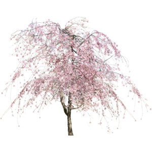 cherry blossom tree real png - Google Search - Cherry Blossom Tree PNG HD