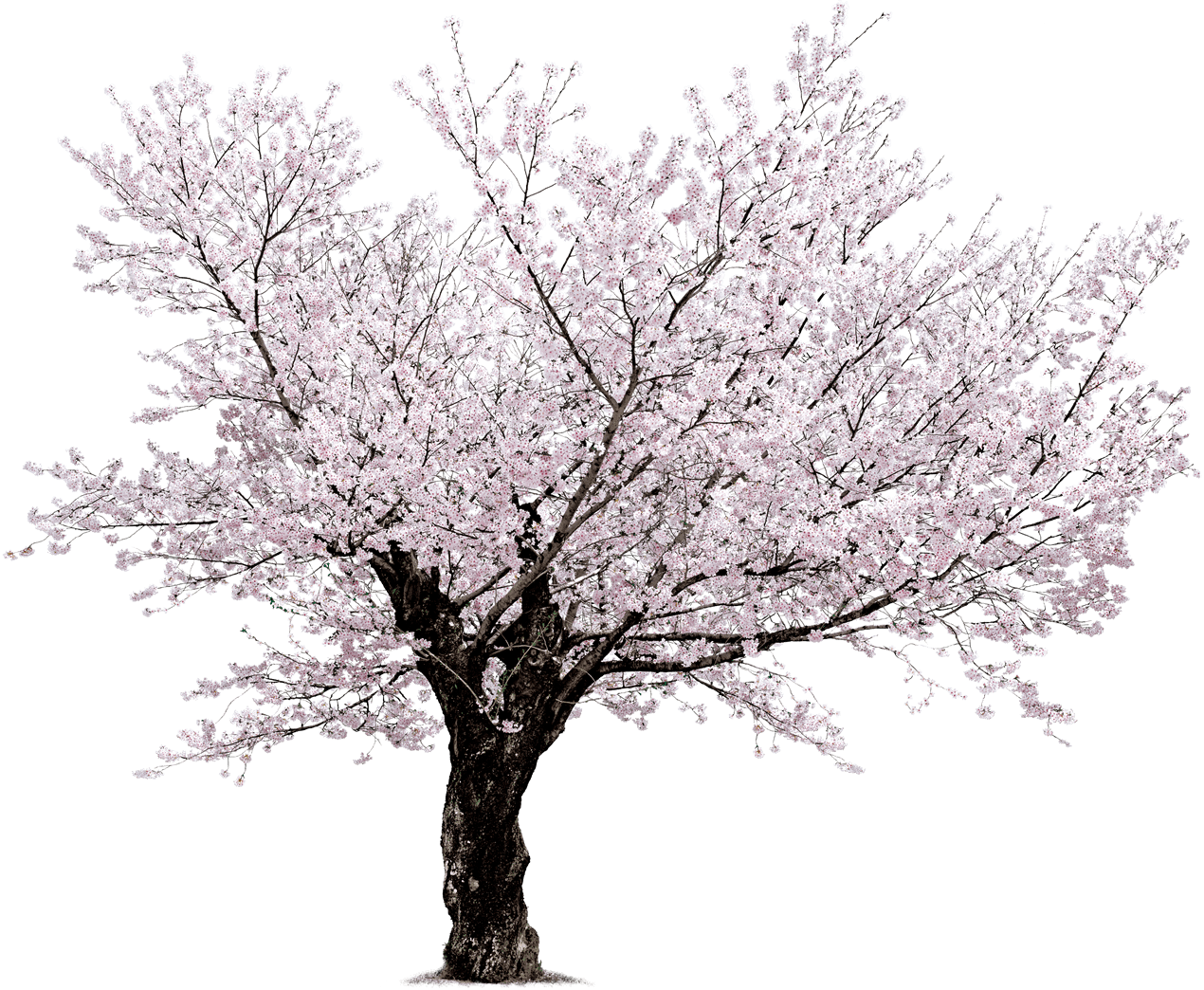 tree sakura - Cherry Blossom Tree PNG HD