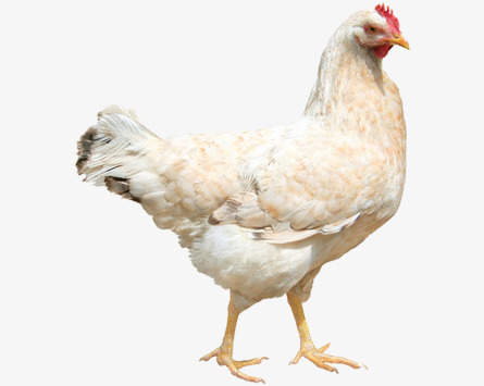 White hen, Hen, Poultry, White PNG Image - Chicken HD PNG