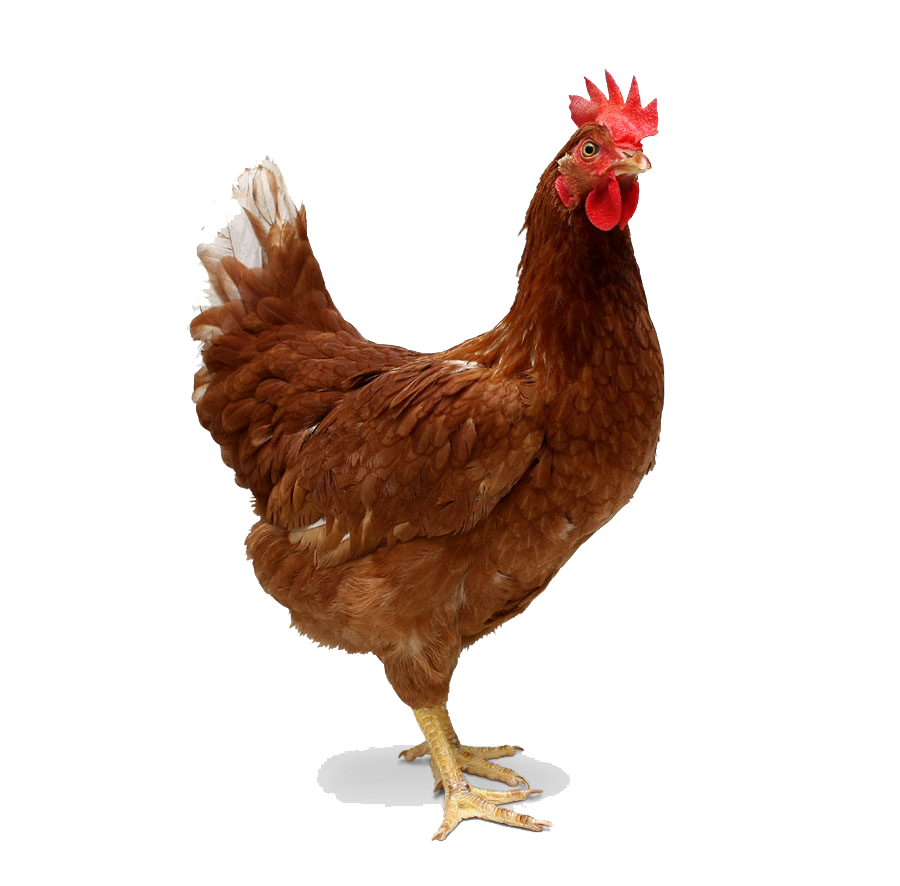Chicken Transparent PNG