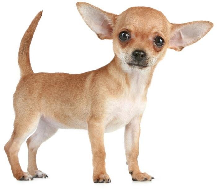 Chihuahua PNG HD-PlusPNG.com-700 - Chihuahua PNG HD