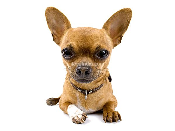 6  Different Types Of Chihuahuas Dog Mixes Breeds With Pictures - Chihuahua PNG HD