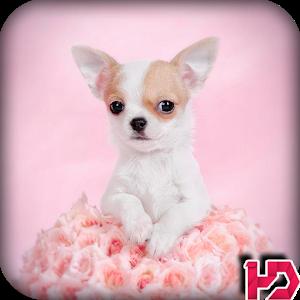 Chihuahua Dog Wallpapers Hd - Chihuahua PNG HD