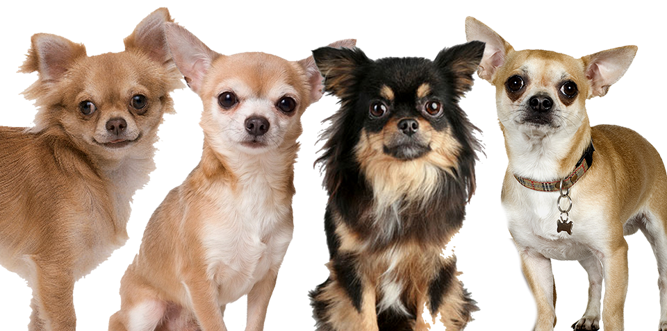 6  Different Types of Chihuah