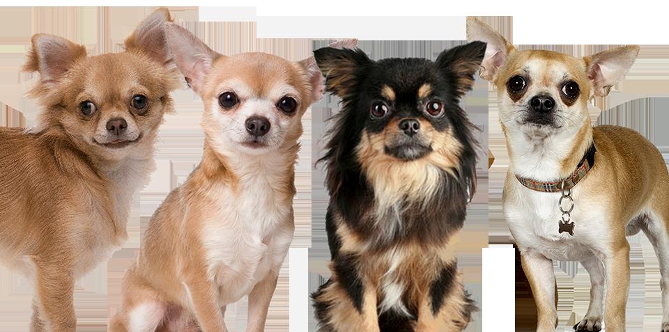 Chihuahua Rescue 38 Free Wallpaper - Chihuahua PNG HD