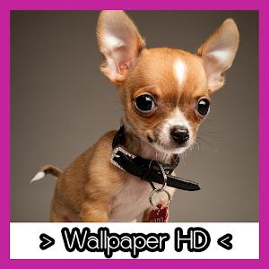 Chihuahua Wallpapers HD - Chihuahua PNG HD