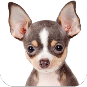 Chihuahuas HQ Pictures - Chihuahua PNG HD