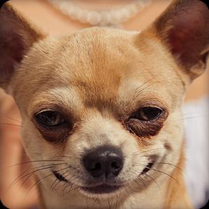 Cute Chihuahua Wallpapers HD - Chihuahua PNG HD