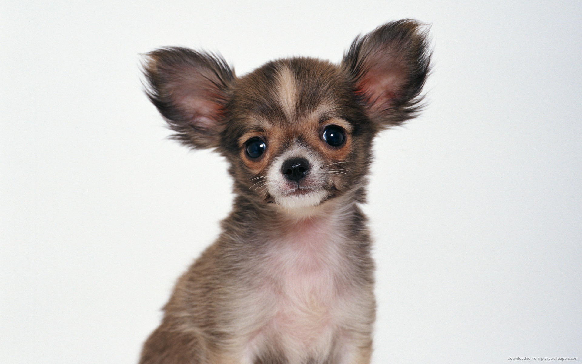 . PlusPng.com Nice Chihuahua Background Images Super HD For Mobile PlusPng.com  - Chihuahua PNG HD