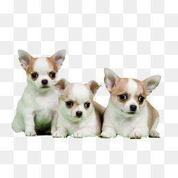 Three Adorable Chihuahua, White And Yellow Coat, Undercoat, Cute PNG Image - Chihuahua PNG HD