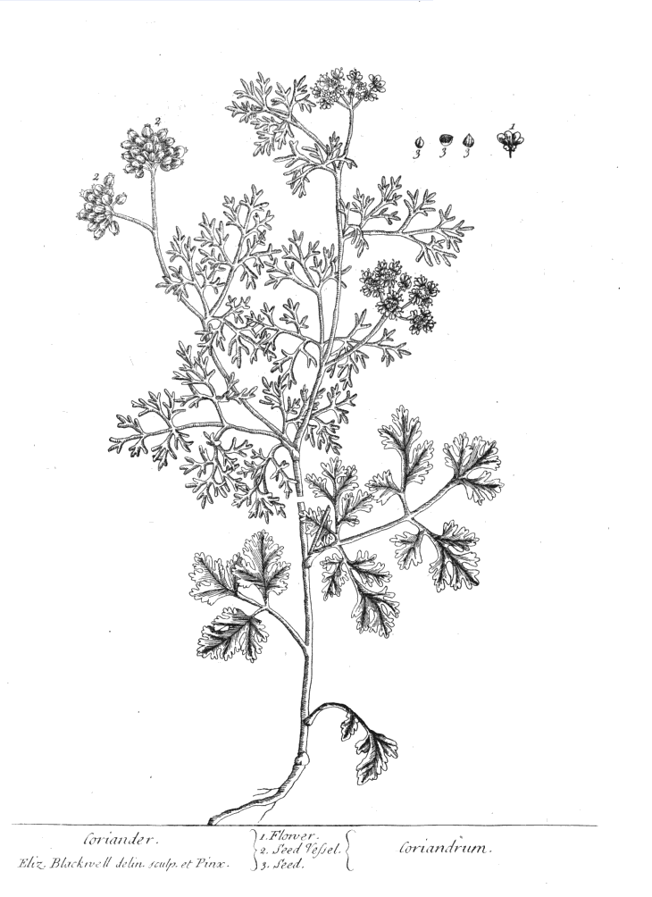 Coriander - Cilantro PNG Black And White